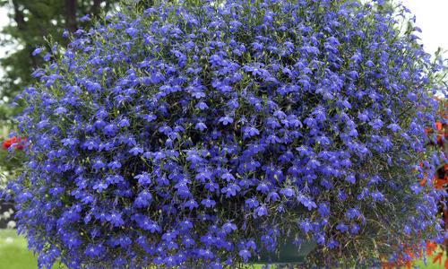Низкорослые цветы для клумбы, цветущие все лето