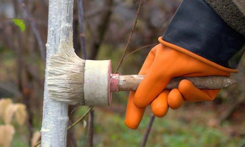 Побелка деревьев осенью. Обработка стволов перед побелкой. Видео