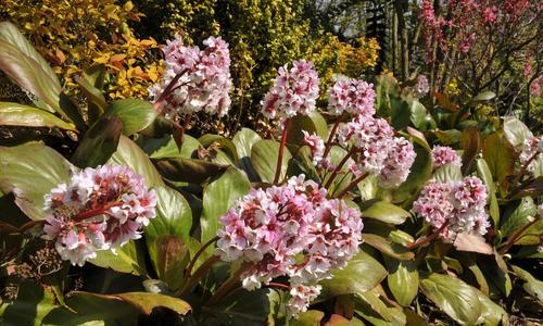 Бадан растения для водоемов