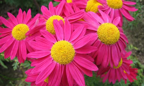 Цветы с крупными соцветиями