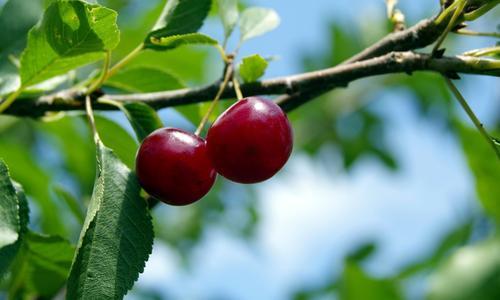 Посадка вишни весной: советы садоводам