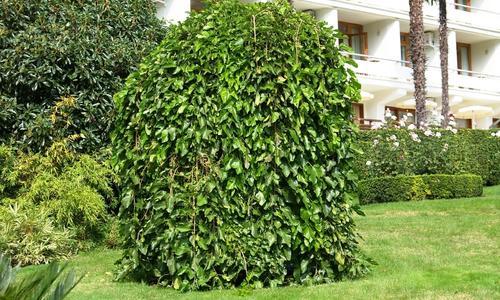 Плакучая ива: как посадить и вырастить красивое дерево на дачном участке, размножение и уход