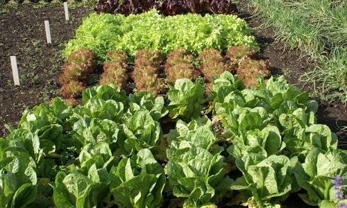 Посадка овощных культур осенью