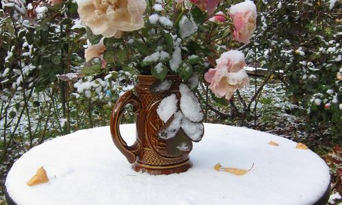 Парковая роза подготовка к зиме обрезка