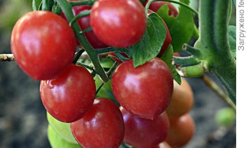 Томат Спрут сливка малиновая F1: описание и характеристика сорта, отзывы об урожайности, фото помидоров