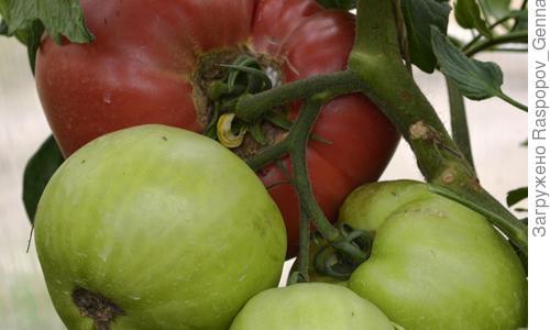 Инструкция по применению фунгицидов для томатов и критерии выбора