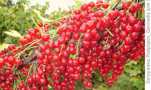 Красная и белая смородина: особенности выращивания и ухода, сорта