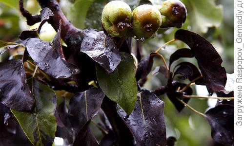 Черный рак яблони  («антонов огонь») – симптомы, фото, лечение