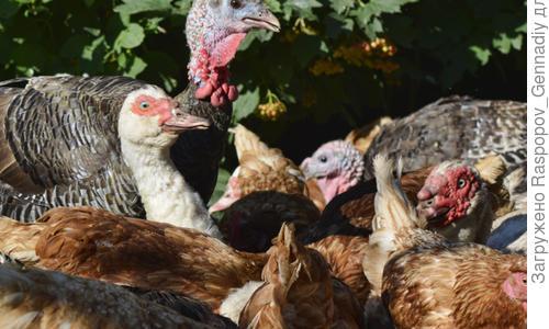 Разведение домашней птицы на приусадебном участке