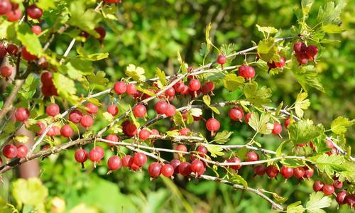 Крыжовник – это ягода или фрукт? Как выглядит куст и плоды. Где растет крыжовник, как цветет, к какому семейству относится.