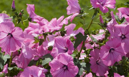 Лаватера многолетняя (65 фото сортов): посадка и уход на клумбе — советы от опытных садоводов