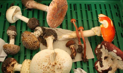 Ядовитые грибы - фото, классы, виды