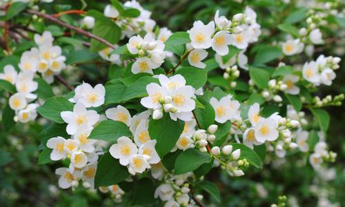 Жасмин кустарник (чубушник): посадка и уход в открытом грунте, размножение