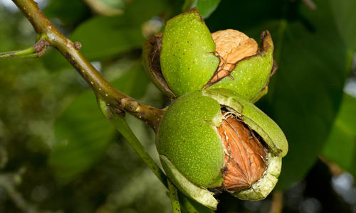 Особенности размножения грецкого ореха - Дача мечты