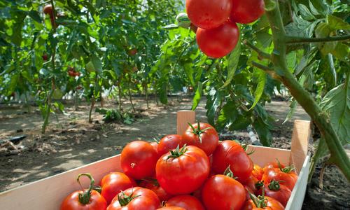 Как сделать грядки в теплице для помидор