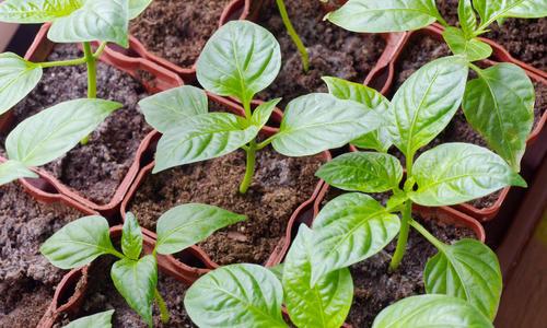 Особенности выращивания перца для получения богатого урожая