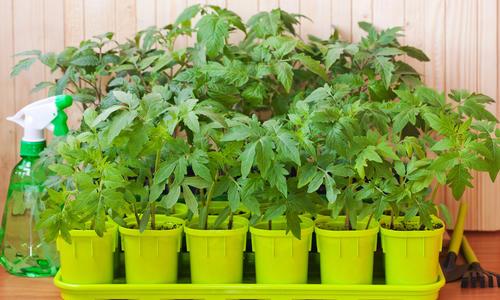 Проросток - стимулятор иммунитета растений