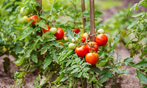 Формирование томатов в один стебель