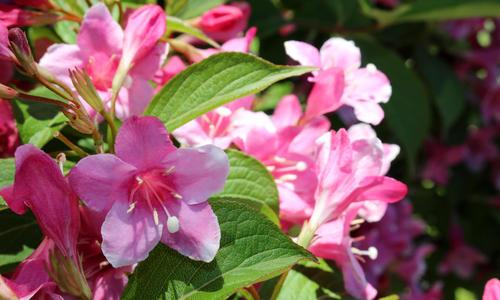 Цветок вейгела цветущая