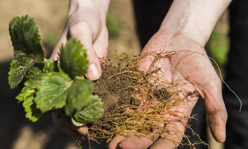 Используем стимуляторы для ускорения корнеобразования