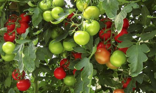 Фитофтора на помидорах в открытом грунте: профилактика и защита томатов от болезни, а также почему появляется недуг, когда нужно начинать действовать?