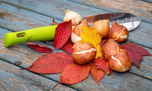 Сроки посадки луковичных осенью в подмосковье
