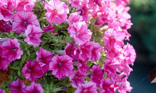 Как сохранить петунию до следующего года — Цветы букеты
