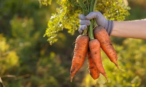 Почему морковь мягкая в земле