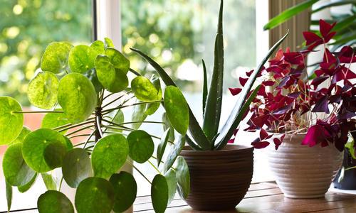 Какие комнатные растения должны быть в доме? ТОП-12