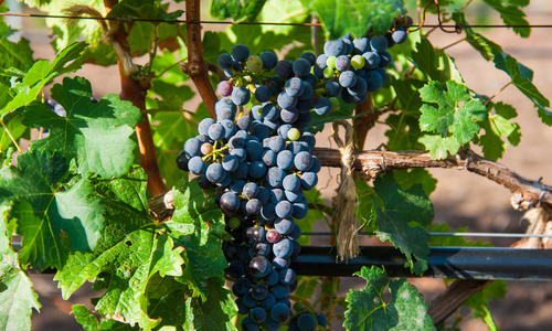Какая почва полезна для винограда: выбор места и подготовка грунта при посадке популярной теплолюбивой культуры