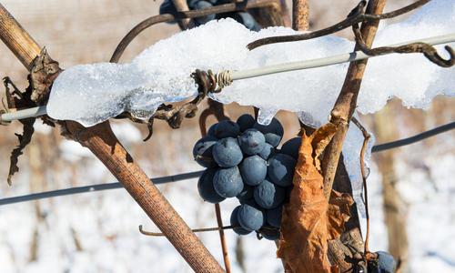 Способы укрывания винограда на зиму