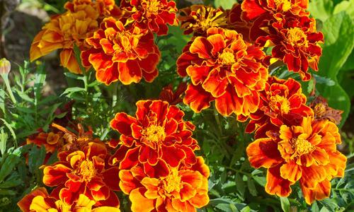 Нужно ли выкапывать бархатцы на зиму. Бархатцы в вашем саду: выращивание и уход. Уход за саженцами