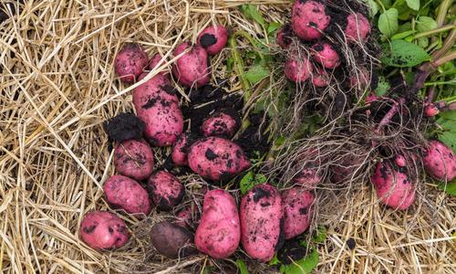 Картофель бамба описание сорта