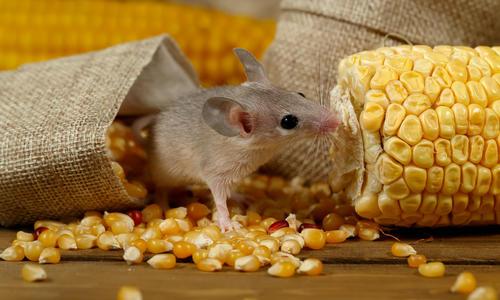 Как избавиться от мышей на даче навсегда: избавление зимой