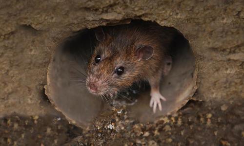 Как уничтожить крыс на даче