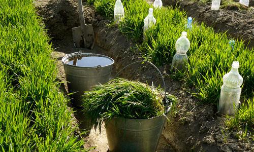 Какие сидераты сеять перед основной культурой