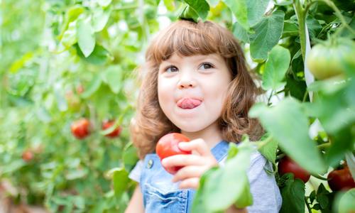 Сорта томатов Агрофирмы Поиск: полезные и вкусные