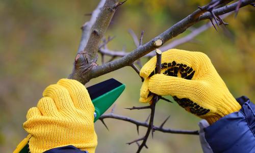 Обрезка сливовых деревьев