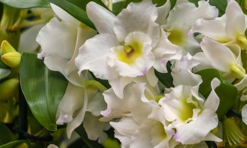 Орхидея дендробиум нобиле отцвела, что делать дальше, особенности ухода
