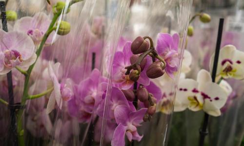 Как спасти цветущую орхидею