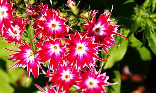 Почему не цветут флоксы