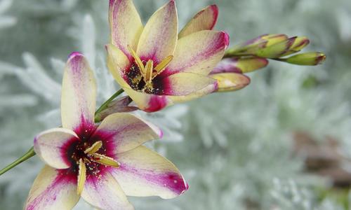 Иксия посадка и уход за экзотическим цветком