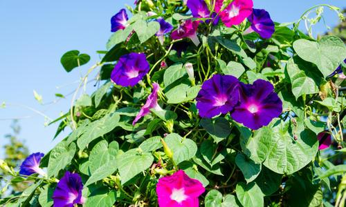 Ипомея: выращивание, посадка и уход в открытом грунте