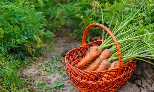 Морковь нииох описание сорта