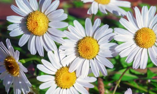 Нивяник обыкновенный, лечение цветком нивяник