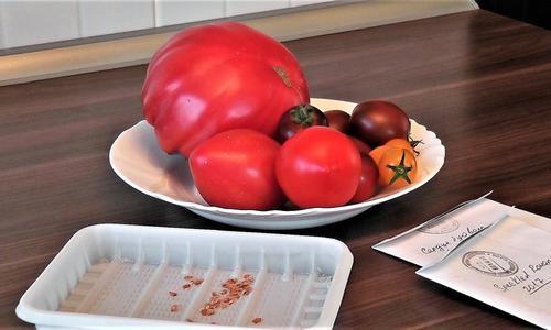 Как собрать семена помидоров правильно в домашних условиях: требования, процесс