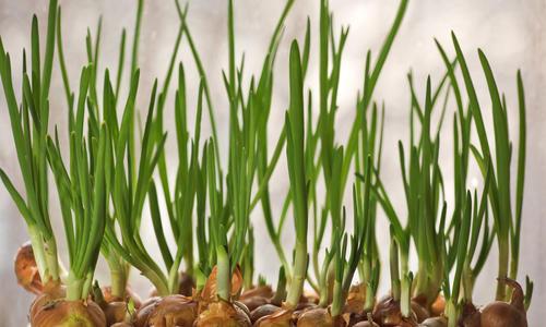 Как вырастить зеленый лук в домашних условиях на подоконнике зимой
