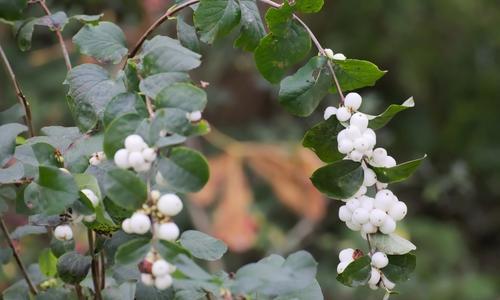 Снежноягодник белый: фото, описание, посадка, уход