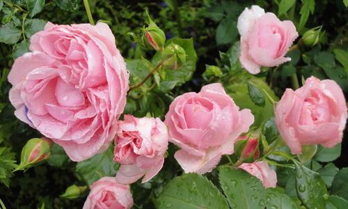 Розы спрей 44 фото описание лучших сортов Особенности посадки и ухода Как размножать розы Как подготовить их к зиме