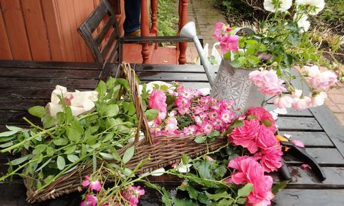 Как укрыть плетистые розы на зиму
